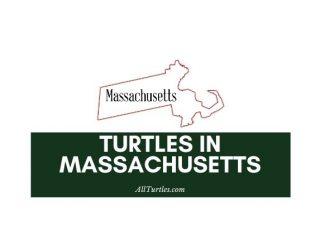 Turtles in Massachusetts