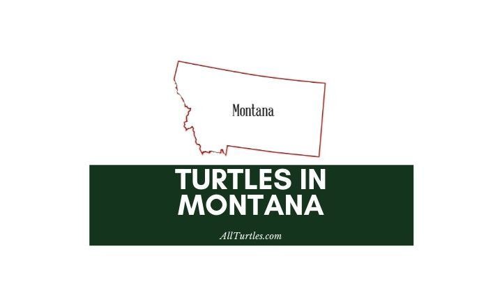 Turtles in Montana