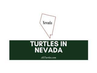 Turtles in Nevada