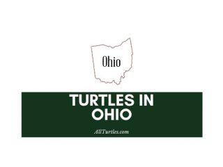 Turtles in Ohio