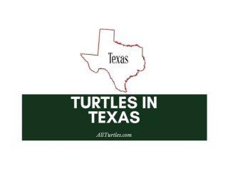 Turtles in Texas