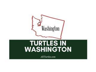 Turtles in Washington State