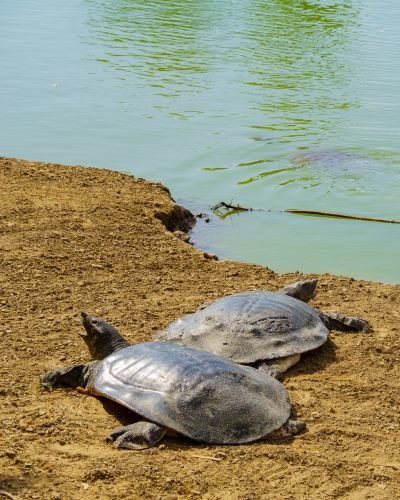 Two African Softshell turtles at Nahal Alexander Nature Reserve