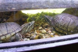 Two striped mud turtles in an enclosure