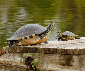 Two yellow bellied sliders basking Female (left) male (right)