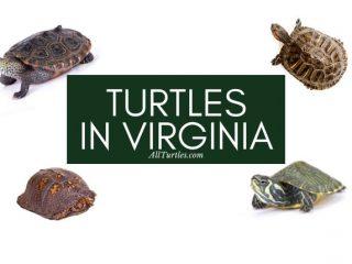 Types of turtles in Virginia
