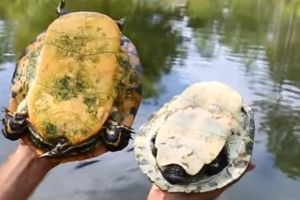 Water Turtles Female and male comparison