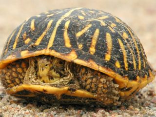 Western Box Turtle on aspalt hiding partially in shell