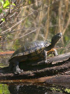 Western Chicken Turtle (Deirochelys reticularia miaria) on log basking