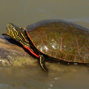 Western Painted Turtle basking on log (Chrysemys picta marginata) by J.N. Stuart