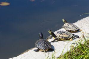 Western Painted Turtles sitting by fresh water in washington