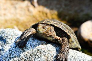 Western Pond Turtle (actinemys marmorata) sitting on rock