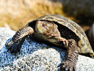 Western Pond Turtle on rock