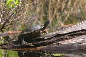 Western chicken turtle on log basking