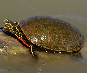 Western painted turtle in Wyoming on log basking