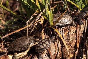 Western pond turtles on log (Actinemys Marmorata)