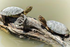 Western pond turtles on log