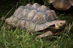 Wild african spurred tortoise