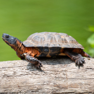 Wood Turtle (Glyptemys insculpta) basking on downd tree in Middlesex County, Massachussets