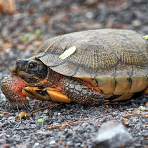 Wood Turtle (Glyptemys insculpta) in woods on gravel