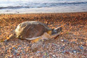 Wood Turtle (glyptemys insculpta) on a beach