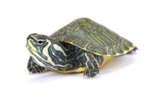 Yellow Bellied Slider For Sale