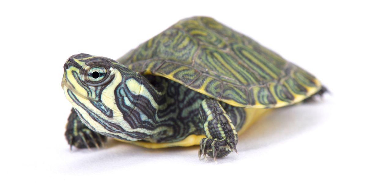 Yellow Bellied Turtle (Trachemys scripta scripta)