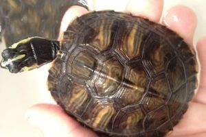 Yellow-Bellied-Turtle-Shell