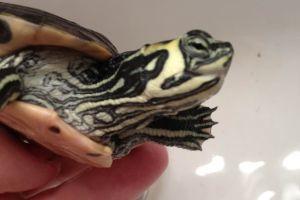 Yellow-Bellied-Turtle head