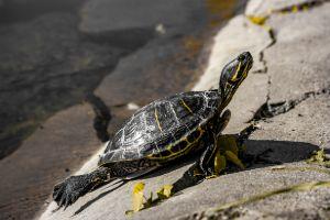 Yellow bellied slider basking on shoreside