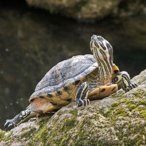Yellow belly slider (Trachemys scripta scripta) basking on rocks outside of lake