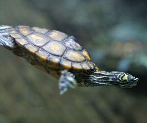 Yellow-blotched Map Turtle (Graptemys Flavimaculata) swimming