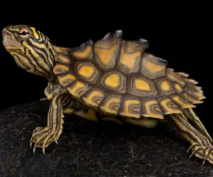 Yellow-blotched map turtle (Graptemys Flavimaculata)