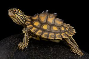 Yellow-blotched-map-turtle