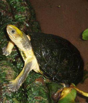 Yellow headed box turtle (Cuora aurocapitata)