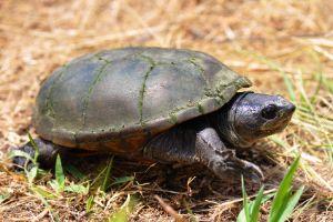 Yellow mud turtle in Illinois (Kinosternon Flavescens Flavescens)