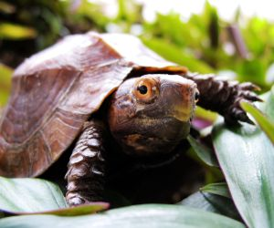 Young keeled box turtle close up