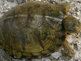 Yucatan Box Turtle (Terrapene carolina yucatana)