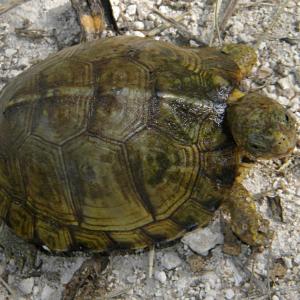 Yucatan Box Turtle (Terrapene carolina yucatana) looking up at camera