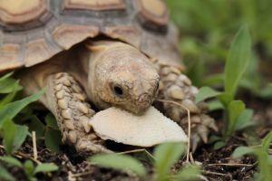 african spurred tortoise (sulcata tortoise