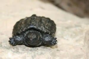 Baby Turtle Care With Video Guide All Turtles