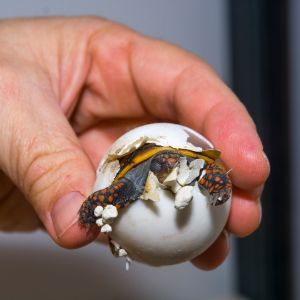 baby red footed tortoise breaking out of egg in hand (Chelonoidis carbonarius)