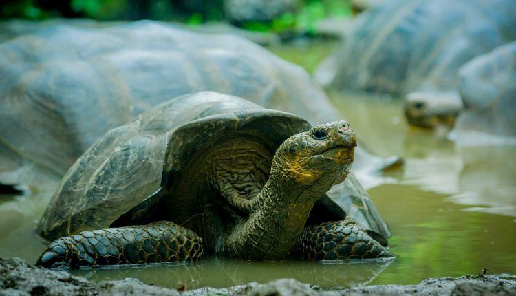 can tortoises swim