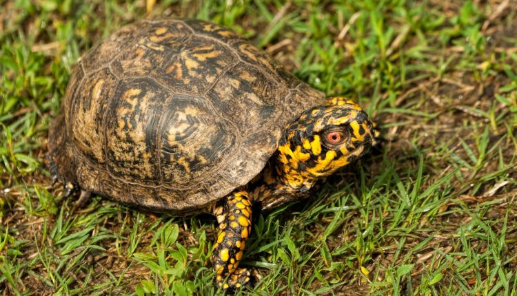 do box turtles hibernate