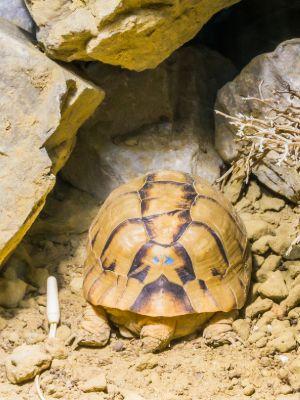 endangered egyptian tortoise sleeping in sand under some rocks
