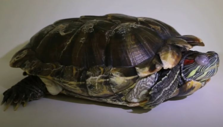 fat turtles (fat red eared slider turtle)