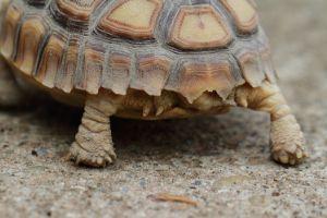 tortoise feet