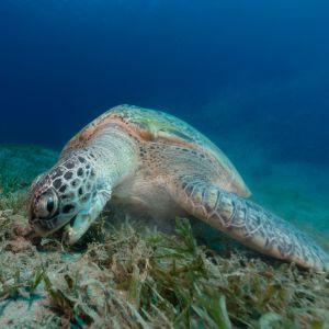 female green sea turtle eating sea grass