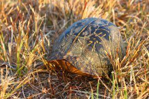 florida box turtle closed inside its shell