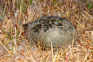 florida box turtle in grass peeking its head out